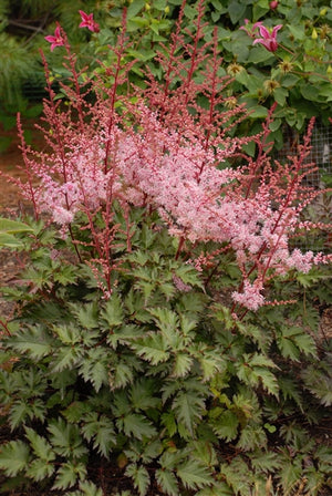 Astilbe hybrid Delft Lace False Spirea image credit Photo credit: Walters Gardens Inc.