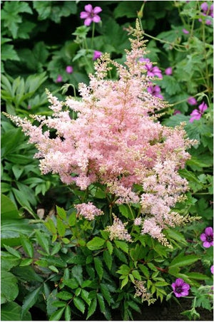Astilbe hybrid Younique Silvery Pink False Spirea image credit Devroomen Inc.