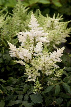 Astilbe hybrid Younique White False Spirea image credit Darwin Plants