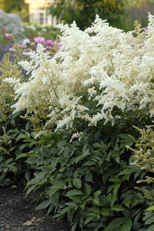 Astilbe japonica Deutschland False Spirea image credit Photo credit: Walters Gardens Inc.