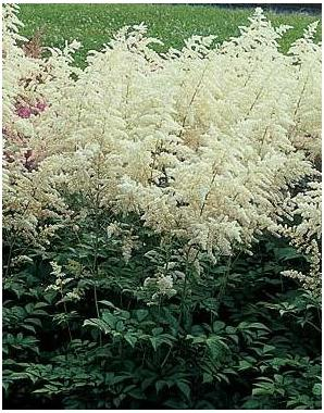Astilbe x arendsii Diamond False Spirea