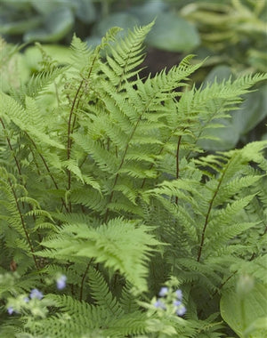 Athyrium filix-femina Lady in Red image credit Photo credit: Walters Gardens Inc.