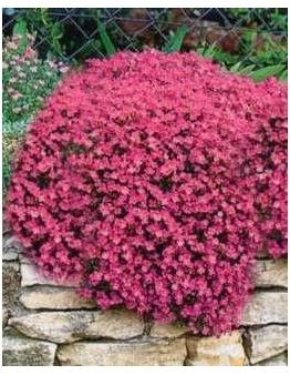 Aubrieta cultorum Cascade Red Rock Cress image credit Millgrove Perennials