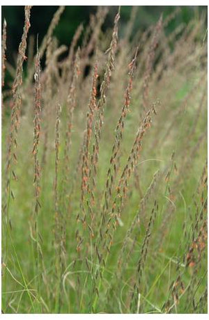 Bouteloua curtipendula Mosquito Grass image credit North Creek Nurseries