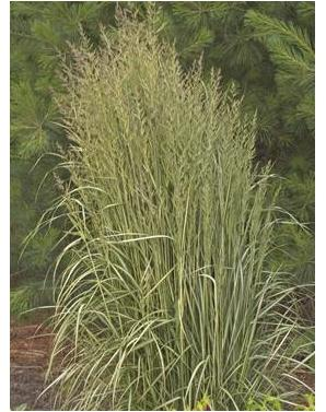 Calamagrostis acutiflora Avalanche Reed Grass image credit Walters Gardens Inc