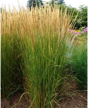 Calamagrostis acutiflora Karl Foerster Reed Grass image credit North Creek Nurseries