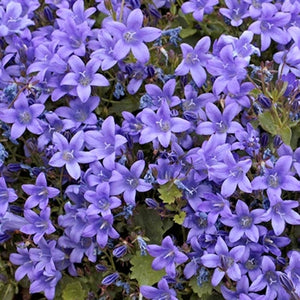 Campanula portenschlagiana Blue Magic Dalmation Bell Flower image credit Millgrove Perennials