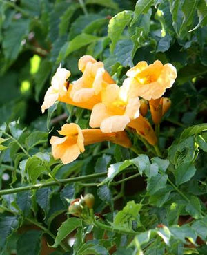 Campsis radicans Flava Yellow Trumpet Vine image credit Campsis radicans 'Flava' - Yellow Trumpet Vine - Photo courtesy of Van Belle Nursery Inc.