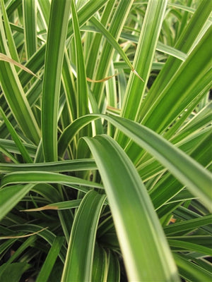 Carex morrowii Ice Dance Sedge image credit Millgrove Perennials
