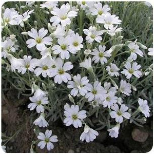 Cerastium tomentosum Silver Carpet Snow In Summer image credit Ball Horticultural Company