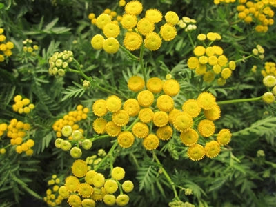 Chrysanthemum vulgare Common Tansy