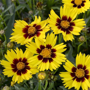 Coreopsis grandiflora Sunkiss Tickseed image credit Walters Gardens