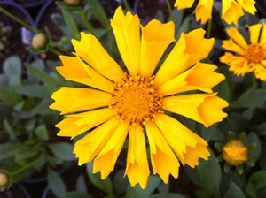 Coreopsis hybrid Jethro Tull Tickseed image credit Millgrove Perennials