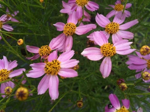 Coreopsis rosea American Dream Tickseed image credit Millgrove Perennials