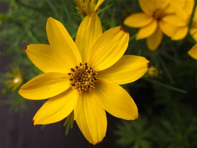Coreopsis verticillata Moonbeam Tickseed