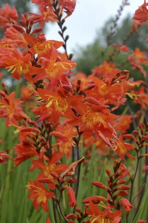 Crocosmia x crocosmiiflora Prince of Orange Montbretia image credit Walters Gardens Inc.