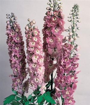 Delphinium elatum Cherry Blossom (Magic Fountains) Larkspur image credit Millgrove Perennials