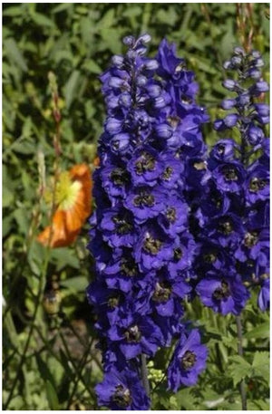 Delphinium elatum Dark Blue Dark Bee (Magic Fountains) Larkspur image credit Millgrove Perennials