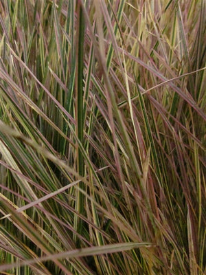 Deschampsia cespitosa Northern Lights Tufted Hair Grass image credit Millgrove Perennials