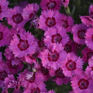 Dianthus Paint the Town Fancy PW Pinks image credit Walters Gardens Inc.