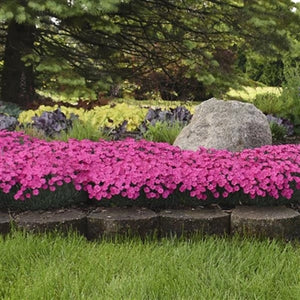 Dianthus Paint the Town Magenta PW Pinks image credit Walters Gardens Inc.