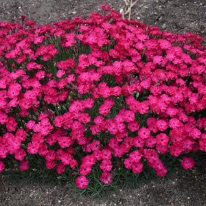 Dianthus Paint the Town Red PW Pinks image credit Walters Gardens Inc.