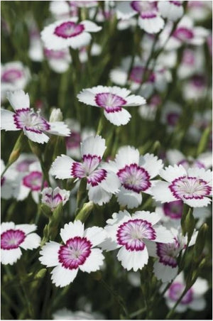 Dianthus deltoides Arctic Fire Pinks Sweet William image credit Vanhof and Blokker