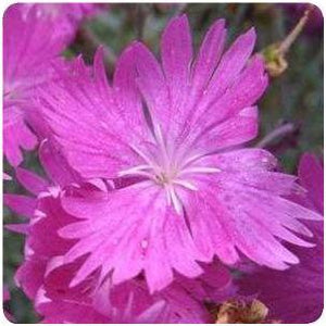 Dianthus gratianopolitanus Firewitch Pinks Sweet William image credit Ball Horticultural Company
