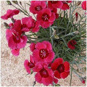 Dianthus hybrid Eastern Star Pinks Sweet William