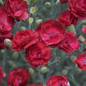Dianthus hybrid Electric Red Pinks Sweet William image credit Walters Gardens Inc.