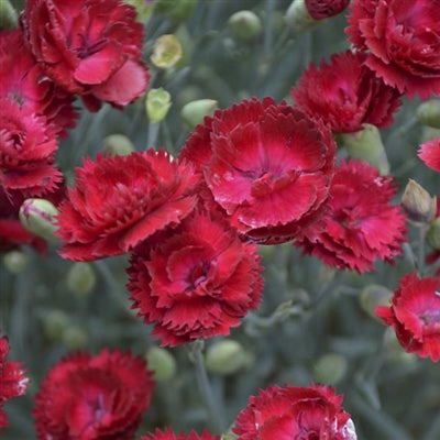 Dianthus hybrid Electric Red Pinks Sweet William