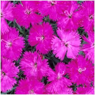 Dianthus hybrid Neon Star Pinks Sweet William