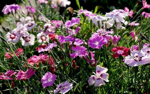 Dianthus plumarius Sweetness Pinks Sweet William image credit Millgrove Perennials
