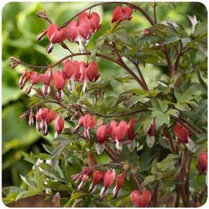 Dicentra spectabilis Valentine Bleeding Heart image credit Ball Horticultural Company