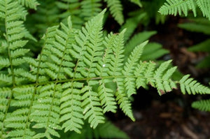 Dryopteris spinulosa Toothed Wood Fern Wood Fern image credit Millgrove Perennials