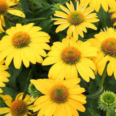 Echinacea hybrid Sombrero Lemon Yellow Improved Cone Flower