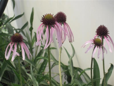 Echinacea pallida (Native) Cone Flower