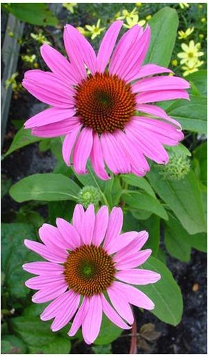 Echinacea purpurea Magnus Superior Cone Flower image credit Northcreek Nurseries