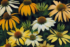 Echinacea purpurea Mellow Yellows Cone Flower image credit Jelitto