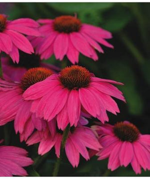 Echinacea purpurea Pow Wow Wildberry Cone Flower image credit Millgrove Perennials