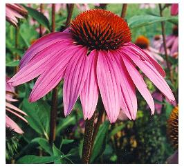 Echinacea purpurea (Native) Cone Flower image credit Millgrove Perennials