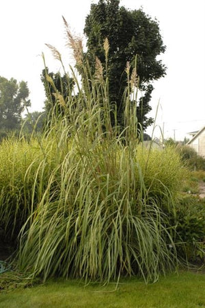 Erianthus ravennae Hardy Pampas Grass image credit Walters Gardens Inc