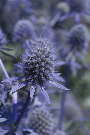 Eryngium planum Blue Glitter Sea Holly image credit Photo credit: Walters Gardens Inc.