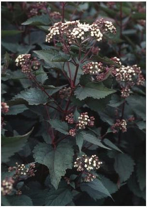 Eupatorium rugosum Chocolate Joe-pye Weed image credit Northcreek Nurseries