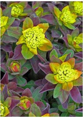 Euphorbia polychroma Bon Fire Spurge image credit Walters Gardens Inc