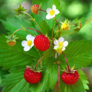 Fragaria vesca Strawberry image credit Millgrove Perennials