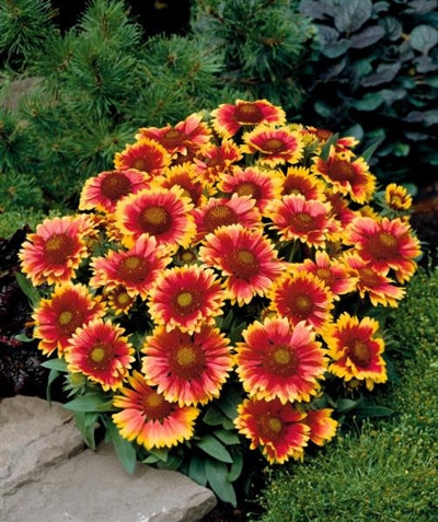 Gaillardia aristata Arizona Sun Blanket Flower