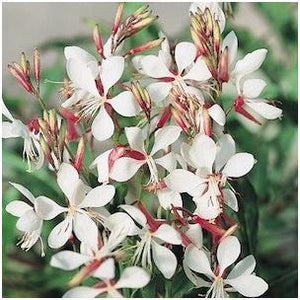 Gaura lindheimeri Sparkle White Butterfly Flower image credit Ball Horticultural Company