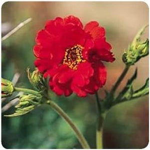 Geum hybrid Mrs.Bradshaw Avens image credit Ball Horticultural Company