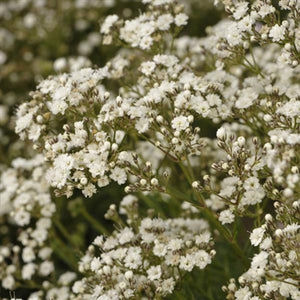Gypsophila paniculata Festival Star PW Baby's Breath image credit Walters Gardens